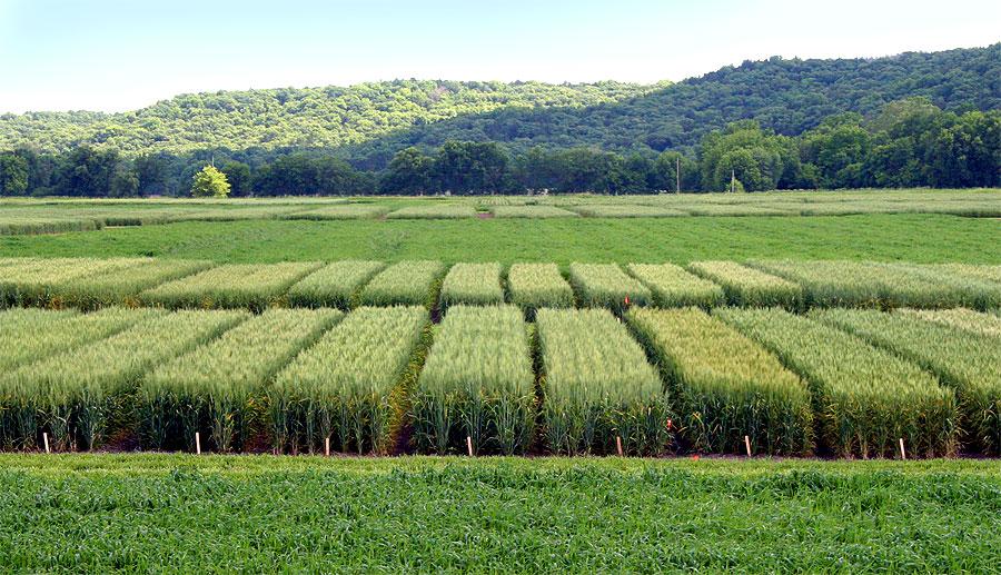 test wheat