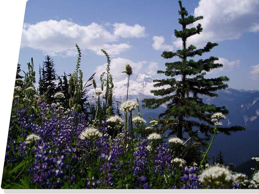 purple and white flowers growing in the mountains