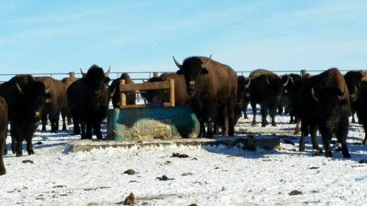 Cancrete Waterer for Bison in Extremely Cold Temperatures