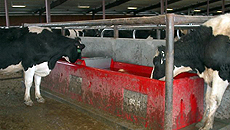 Cancrete Waterer for Dairy